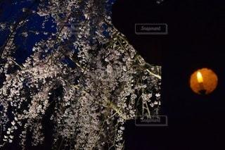 光と桜。の写真・画像素材[3045527]