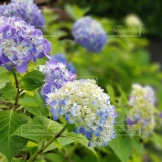 花,緑,あじさい,紫陽花