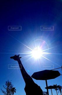 空,動物,屋外,太陽,キリン,日中