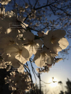 空,花,夕日,桜,屋外,葉,景色,樹木,草木,ブロッサム