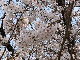 空,春,屋外,桜の花