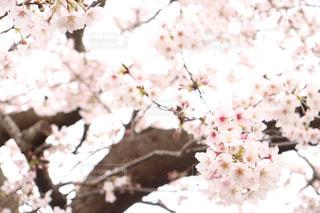 花,桜,木,ピンク,満開,2020,桜の花,さくら,ブロッサム