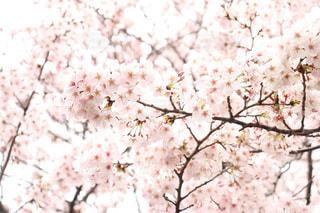 花,春,桜,枝,鮮やか,樹木,草木,桜の花,さくら,ブルーム,ブロッサム