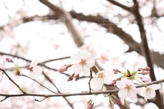 花,春,桜,屋外,枝,樹木,草木,桜の花,さくら,ブルーム,ブロッサム