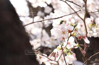 花,春,屋外,枝,樹木,草木,桜の花,Sakura,さくら,ブロッサム