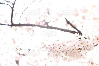花,春,桜,屋外,2020,桜の花,さくら,ブロッサム