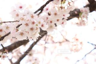 花,春,桜,ピンク,草木,桜の花,さくら,ブルーム,ブロッサム