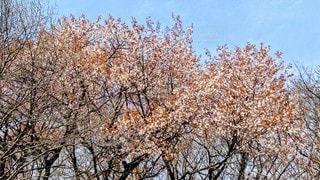 花,屋外,樹木,雑木林,ヤマザクラ