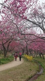 梅の小路を歩く二人の写真・画像素材[3045281]