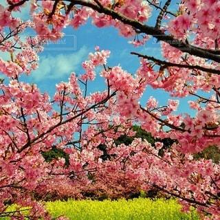 菜の花,満開,初島,桜の花,さくら
