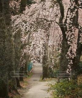 花,春,屋外,しだれ桜,樹木