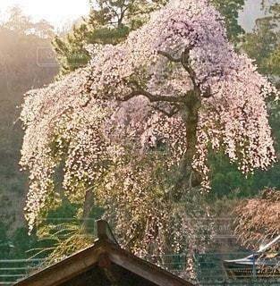 花,春,桜,しだれ桜,景色,草木