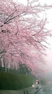 風景,桜,満開,ピンクの花,霞み