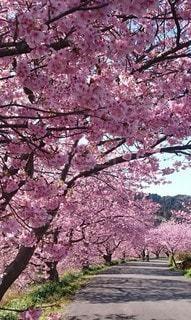 春,桜並木,樹木,ピンクの花,伊豆,日射し,桜の花,輝く,さくら,艶やか,早咲きの桜,みなみの桜,下賀茂温泉