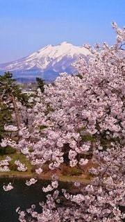 岩木山と満開の桜の写真・画像素材[3045361]