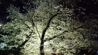 自然,花,桜,夜,屋外,夜桜,白い,樹木,光る,小江戸,草木,川越,パワー,さくら,みなぎる,目立つ,連雀寺
