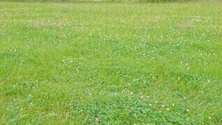 シロツメクサ咲く草原の写真・画像素材[4616192]