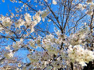 空,花,春,青い空,桜の花,さくら,ブロッサム