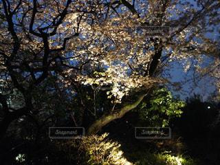 風景,夜桜,樹木