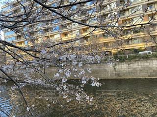 桜,樹木,目黒