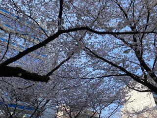 桜,森林,景色,樹木,中野,さくら