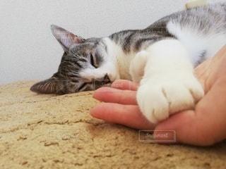 猫,動物,屋内,手,寝転ぶ,ふわふわ,寝る,睡眠