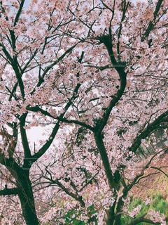 家族,春,屋外,樹木,草木,桜の花,さくら