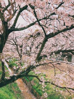 春,屋外,草木,さくら