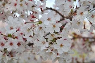 風景,花,春,桜,景色,日本,奈良,桜の花,さくら,ブロッサム