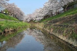 自然,風景,空,花,春,桜,屋外,川,水面,草,樹木,日本,奈良,草木,さくら,ブロッサム