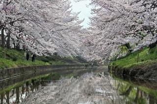 自然,風景,花,春,桜,屋外,川,水面,樹木,日本,奈良,桜の花,さくら,ブロッサム