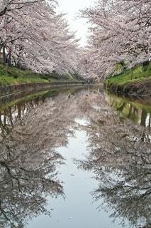 風景,花,春,桜,屋外,川,水面,桜並木,日本,奈良,桜の木