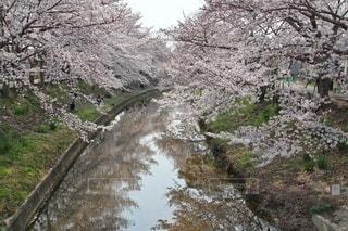 自然,風景,花,春,桜,屋外,川,水面,樹木,日本,奈良,草木,桜の花,さくら