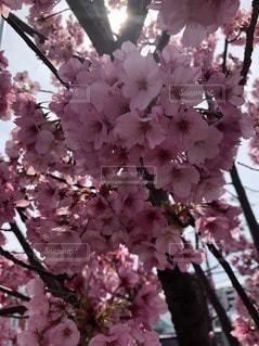 春,ピンク,景色,桜の花
