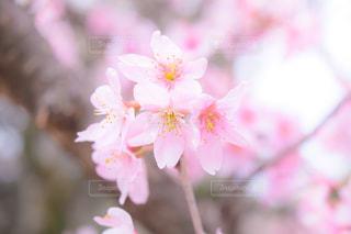 花,桜,ピンク,花びら,お花見