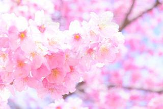 空,花,春,ピンク,青空,花びら,イベント,草木,桜の花,さくら,ブロッサム