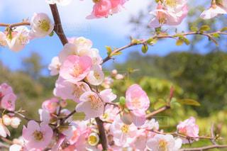 空,花,春,ピンク,青空,青,花びら,お花見,ブロッサム
