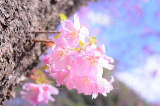 花,春,桜,ピンク,青空,景色,花びら,鮮やか,さくら,ブロッサム
