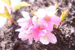 花,春,桜,木,東京,ピンク,花見,花びら,サクラ,お花見,新宿,新宿御苑,御苑,さくら