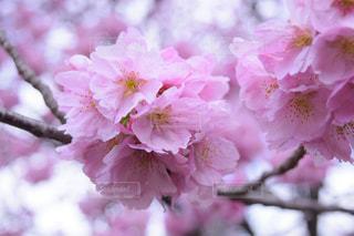 花,春,ピンク,景色,花びら,鮮やか,桜の花,さくら,ブロッサム