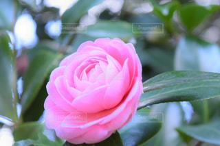 花,屋外,ピンク,バラ,葉,景色,花びら,樹木