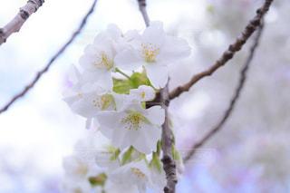 花,春,屋外,白,草木,ブロッサム