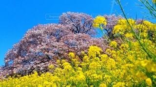 花,春,桜,黄色,ブルーム