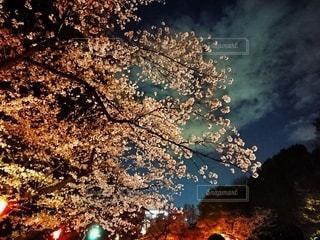 花,春,桜,木,花見,夜桜,お花見,イベント