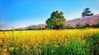 自然,風景,花,春,桜,木,菜の花,花見,景色,樹木,お花見,新緑,イベント