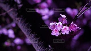 自然,花,桜,夜,紫,夜桜,草木