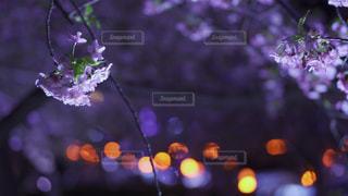 自然,花,桜,夜,夜桜,ぼかし,草木