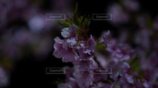自然,花,春,桜,夜,夜桜,草木