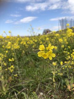空,花,春,屋外,黄色,菜の花,河原,草,草木