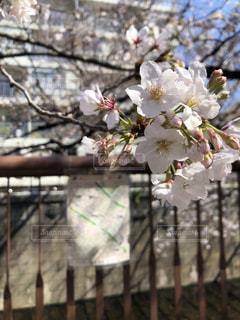 花,春,木,樹木,目黒川,中目黒,草木,桜の花,さくら,ブルーム